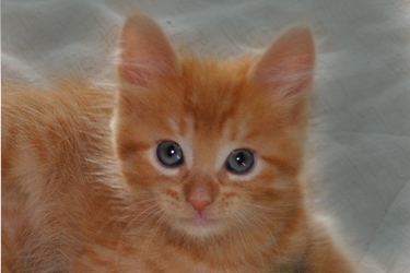 [picture of Sammy, a Domestic Short Hair orange tabby cat]