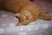 [another picture of Sammy, a Domestic Short Hair orange tabby\ cat]