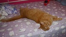 [picture of Sammy, a Domestic Short Hair orange tabby\ cat]