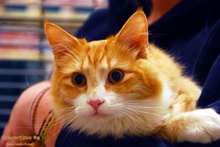 [another picture of Jackson, a Domestic Medium Hair orange tabby/white\ cat]