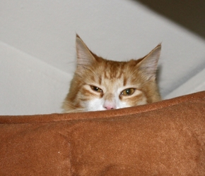 [picture of Jackson, a Domestic Medium Hair orange tabby/white cat]