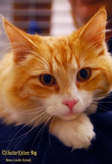 [picture of Jackson, a Domestic Medium Hair orange tabby/white\ cat]
