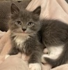 A picture of #AB00428: Sophie a Domestic Long Hair blue/white
