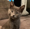A picture of #AB00429: Jett a Russian Blue Mix blue