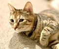 A picture of #AB00430: Scarlett a Domestic Short Hair tortie