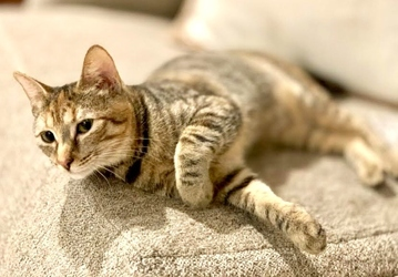 [picture of Scarlett, a Domestic Short Hair tortie cat]
