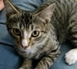 A picture of #AB00431: Blase Pascal a Domestic Short Hair brown tabby/white