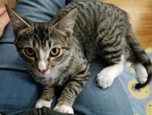 [another picture of Blase Pascal, a Domestic Short Hair brown tabby/white\ cat]