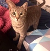A picture of #AB00432: Gordita a Domestic Short Hair silver