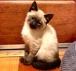 A picture of #AB00434: Sushi a Ragdoll Mix seal point