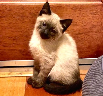 [picture of Sushi, a Ragdoll Mix seal point\ cat]