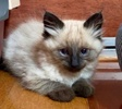 A picture of #AB00435: Saki a Ragdoll Mix seal point