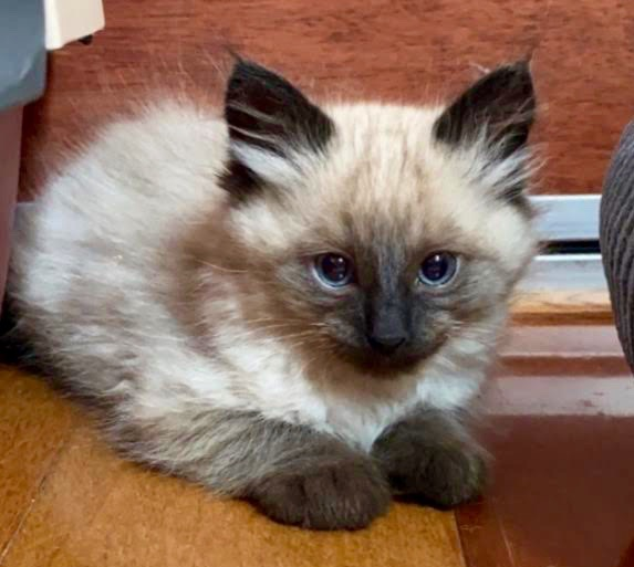 [picture of Saki, a Ragdoll Mix seal point\ cat]