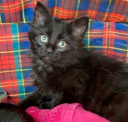 [picture of Sashimi, a Ragdoll Mix black\ cat]