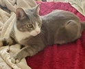 A picture of #AB00438: Zelda B a Domestic Short Hair silver marble/white