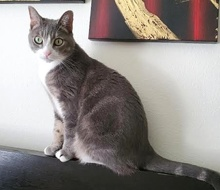 [another picture of Zelda B, a Domestic Short Hair silver marble/white\ cat]