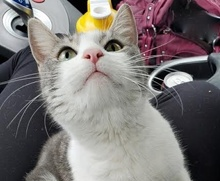 [picture of Nina B, a Domestic Short Hair white/silver\ cat]