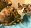 A picture of #AB00440: Pickles a Domestic Short Hair dilute calico