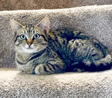 [picture of Maxine, a Domestic Short Hair gray tabby\ cat]