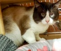 A picture of #AB00443: Curious George a Siamese snowshoe