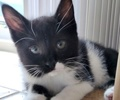A picture of #AB00445: Starsky a Domestic Medium Hair black/white