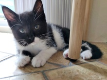 [another picture of Starsky, a Domestic Medium Hair black/white\ cat]