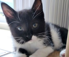 [picture of Starsky, a Domestic Medium Hair black/white\ cat]