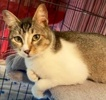 A picture of #AB00446: Jody a Domestic Short Hair brown tick/white