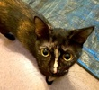 A picture of #AB00447: Sabrina B a Domestic Short Hair tortie