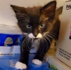 A picture of #AB00448: Curly a Domestic Long Hair black/white