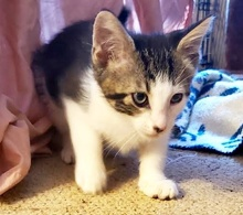 [picture of Larry, a Domestic Short Hair tabby/white\ cat]