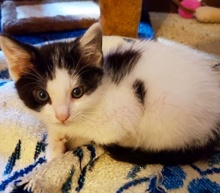 [picture of Moe, a Domestic Medium Hair white/black\ cat]