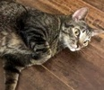 A picture of #AB00451: Pooka a Domestic Short Hair brown tabby