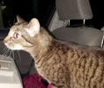 [picture of Pooka, a Domestic Short Hair brown tabby cat]