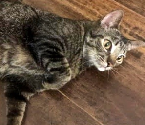 [picture of Pooka, a Domestic Short Hair brown tabby\ cat]
