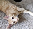 A picture of #AB00453: Pongo a Domestic Short Hair orange tabby