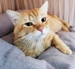A picture of #AB00454: Willis a Domestic Short Hair red tabby