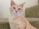 A picture of #AB00455: Tupac a Domestic Short Hair buff tabby