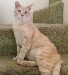 [another picture of Tupac, a Domestic Short Hair buff tabby\ cat]