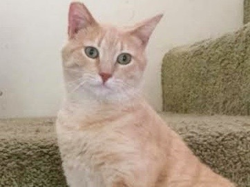 [picture of Tupac, a Domestic Short Hair buff tabby\ cat]