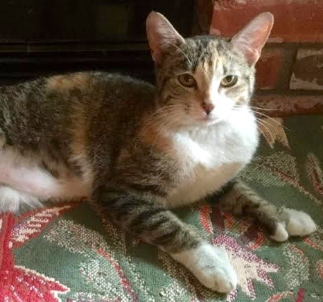 [picture of Thumbelina, a Hemingway Poldactyl calico\ cat]