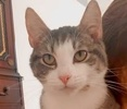 A picture of #AB00457: Stardust a Domestic Short Hair silver tabby/white
