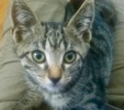A picture of #AB00458: Spunky B a Domestic Short Hair brown tabby