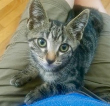[another picture of Spunky B, a Domestic Short Hair brown tabby\ cat]