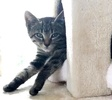 [picture of Spunky B, a Domestic Short Hair brown tabby cat]