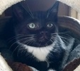 A picture of #AB00459: Sparky B a Domestic Short Hair black/white