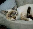 A picture of #AB00460: Tres Leches a Siamese Mix lynx point