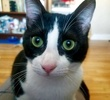 A picture of #AB00461: Philly Cheesesteak a Domestic Short Hair black/white