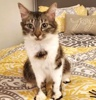 A picture of #AB00462: Ms Gypsy a Domestic Long Hair brown tabby/white