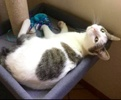 A picture of #AB00463: Ms Luna a Domestic Short Hair white/brown
